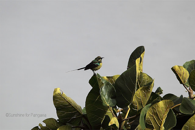 Malachite Sunbird basic plumage