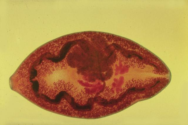 paragonimus kellicotti worm - photo #5