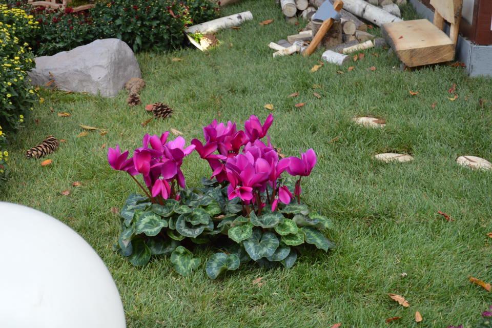 les photos de floralie chrysanthema 224 lahr