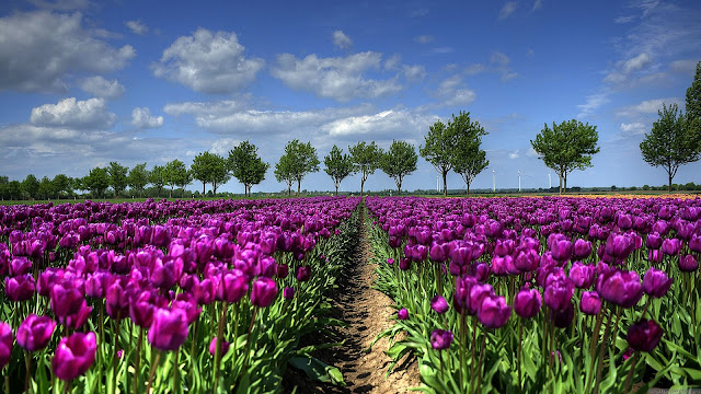 Field of purple tulips HD Wallpaper