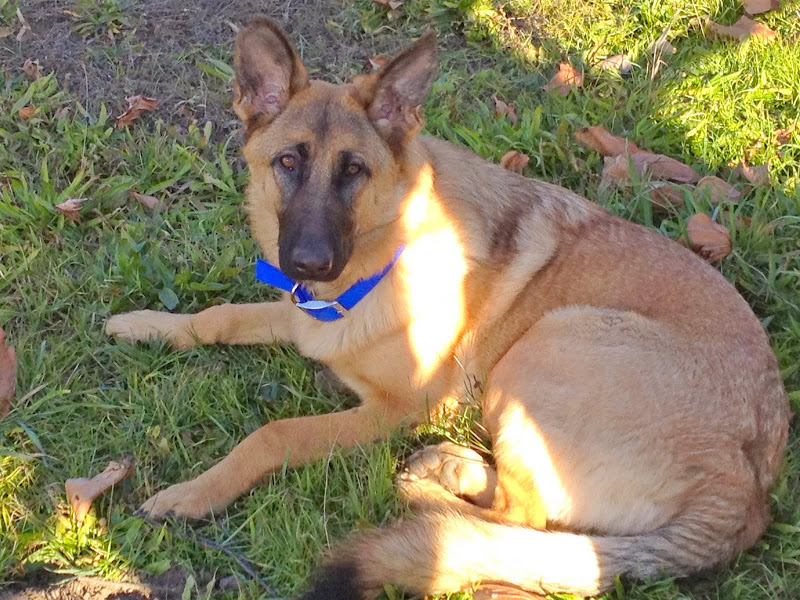 photo of german shepherd kira laying on grass with a patch of sunlight across her body, she is a reddish tan color with black muzzle and she looks like a pretty big dog!