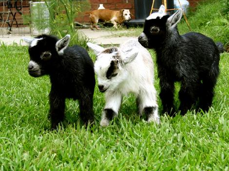 Baby Goat Smiling Cute Baby Goats