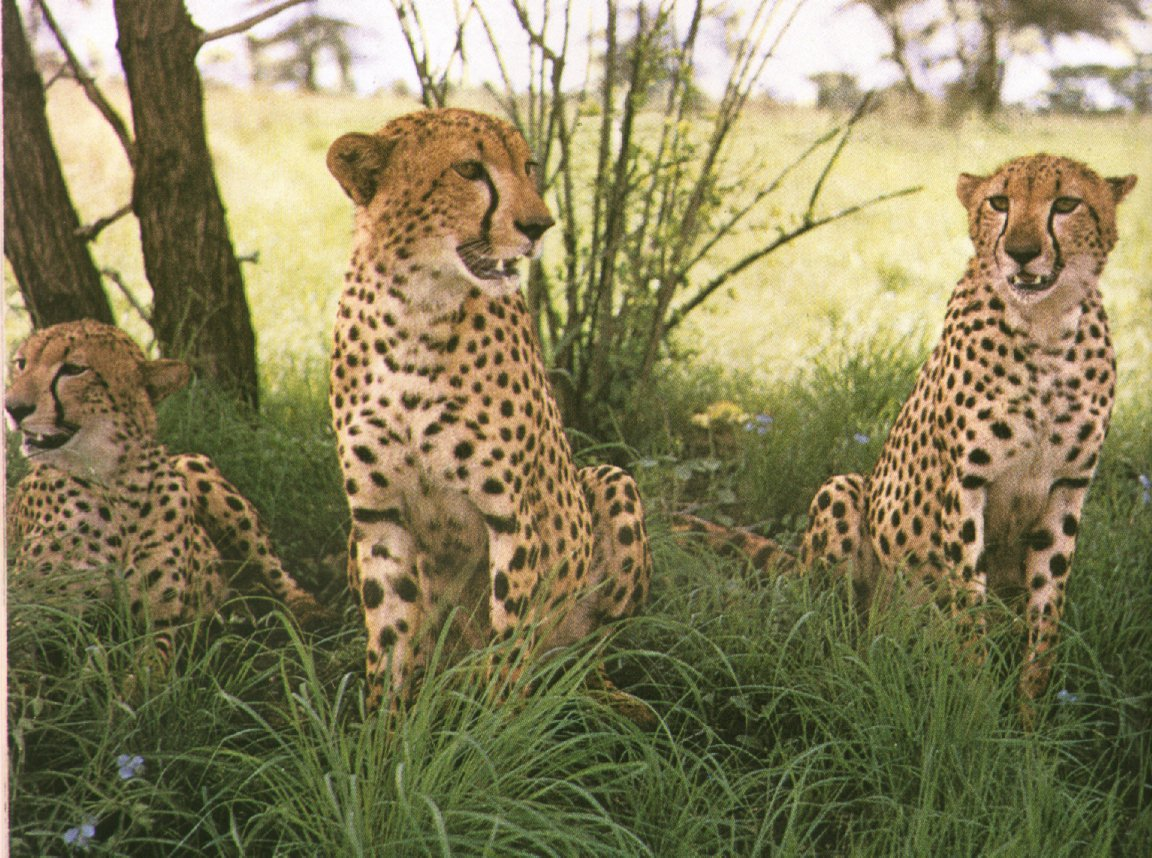Beautiful cheetah family. the most beautiful cheetahs in