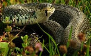 Serpiente sacando la lengua