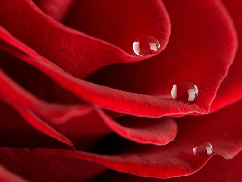 red rose desktop background - photo #10
