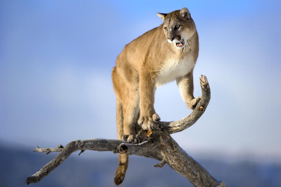 cougar porra