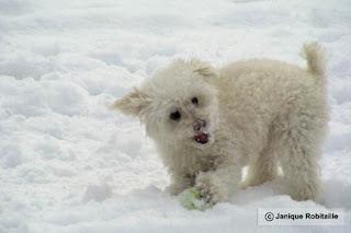 chien caniche dans la neige