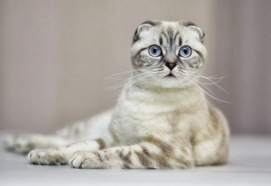 Health Problems in Scottish Fold Cats