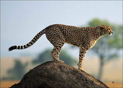 adult cheetah standing on a large rock