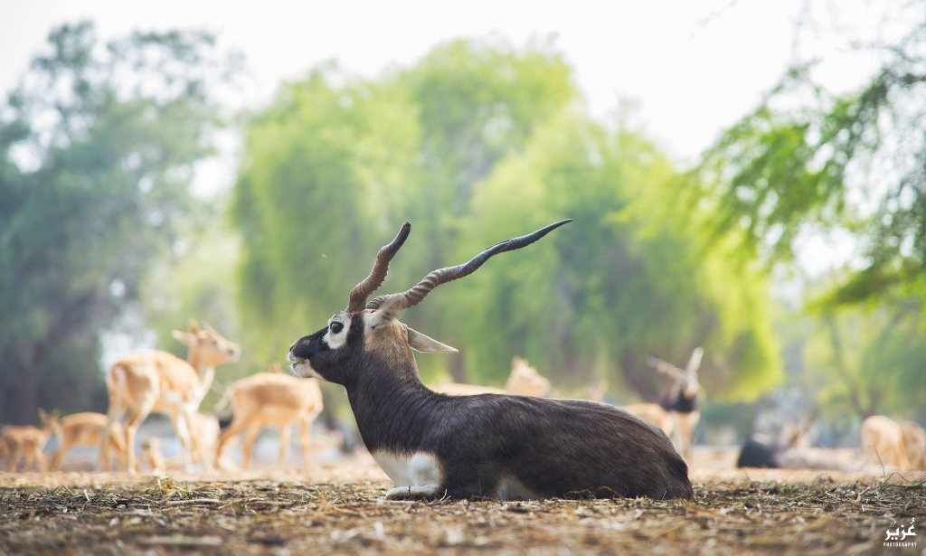 Lal Sowara National Park Black Deer