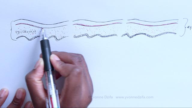 Diagram sketch of epidermis structure