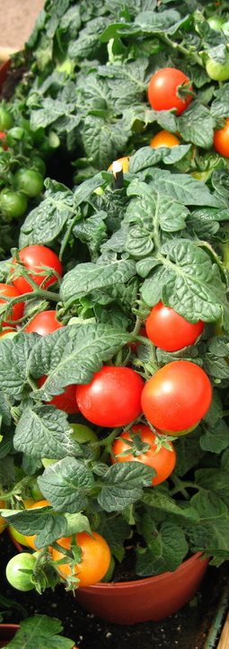 Jardines del teide tomates cherry - Tomates cherry en maceta ...