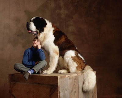 Biggest Saint Bernard
