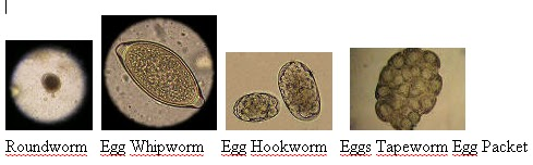 Roundworm In Cats Stool
