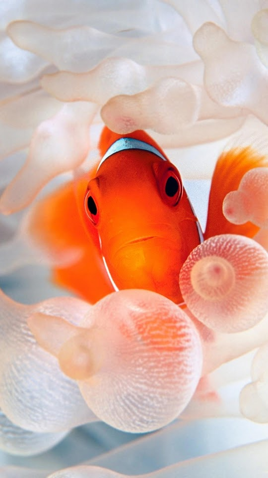Gold Fish Nemo Orange Sea  Galaxy Note HD Wallpaper