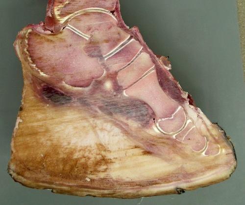Elephant foot anatomy