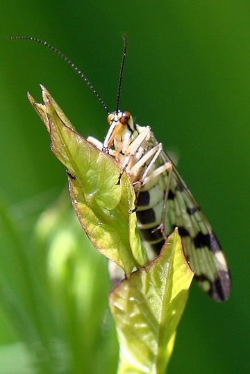 Panorpe (Panorpa vulgaris).