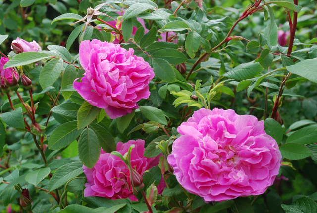 I never promised you a rose garden - Mina rosor : Therese Bugnet