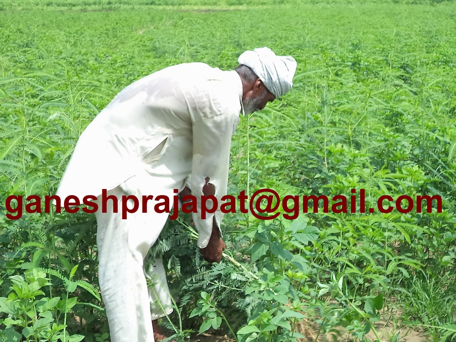 Guar cultivation, Guar gum cultivation  in india