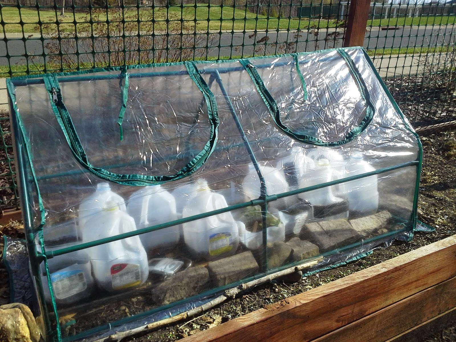 Growing in milk cartons in greenhouse