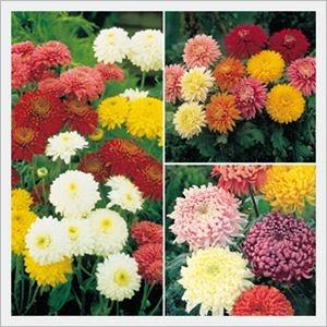 Klasifikasi Tanaman Hias Bunga Krisan
