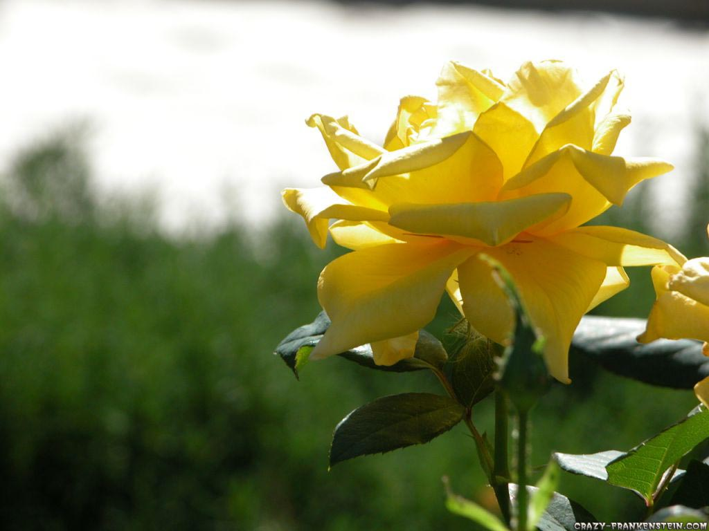 yellow rose flowers wallpapers |free images fun
