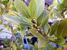 LAURUS NOBILIS  3 شجرة الغار