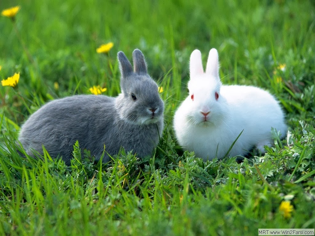 Rabbit HD Funny Wallpapers