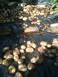Harvesting those main crop spuds.