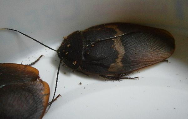 Hisserdude's Roaches - Page 2 E.cap%252312