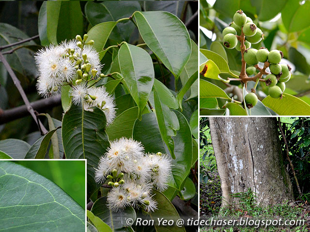 tHE tiDE cHAsER: Coastal Shrubs & Trees with Simple Leaves in Singapore
