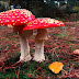 Fanciful Toadstools
