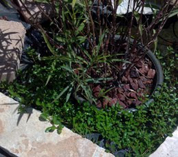 Potted Bog Plant with Volcanic Rock, for pond veggie filter