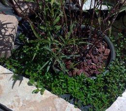 Potted Bog Plant with Volcanic Rock, for pond veggie filter