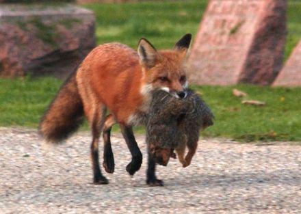 """Képtalálat a következőre: """"vörös róka vadászat"""""""