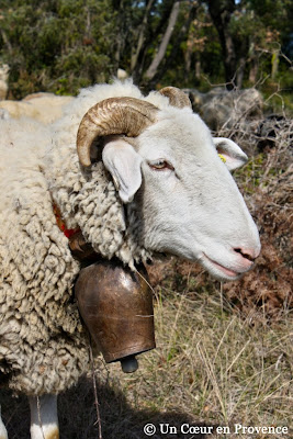 Mouton dans la garrigue