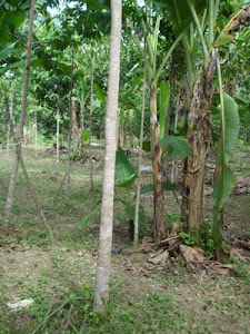 Ladang Integrasi Gaharu dan pisang