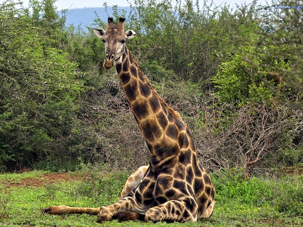 Giraffe   Animal Wildl...