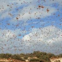plaga de langostas del desierto