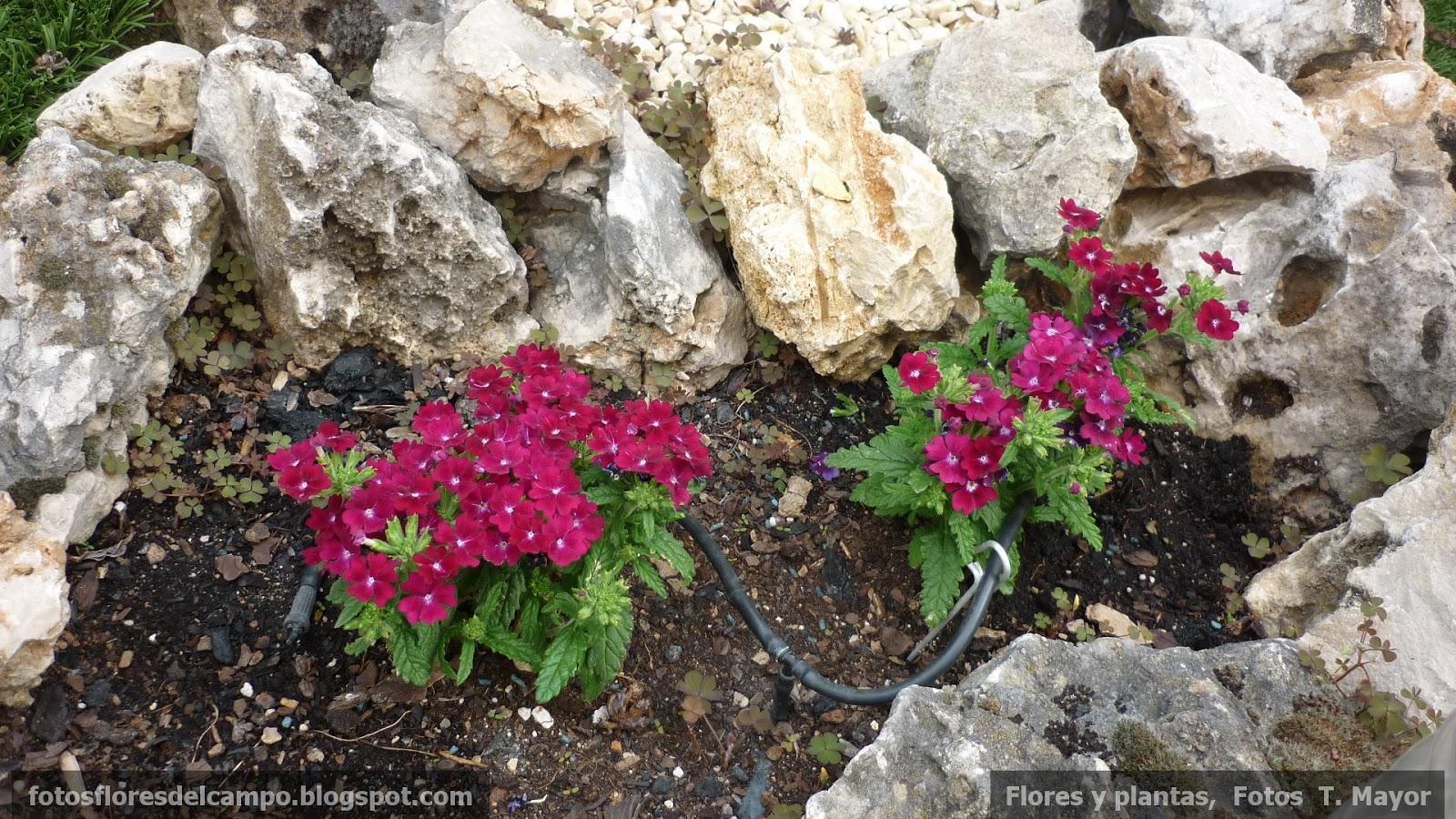 Flores y plantas silvestres verbena hybrida verbena - Planta verbena cuidados ...