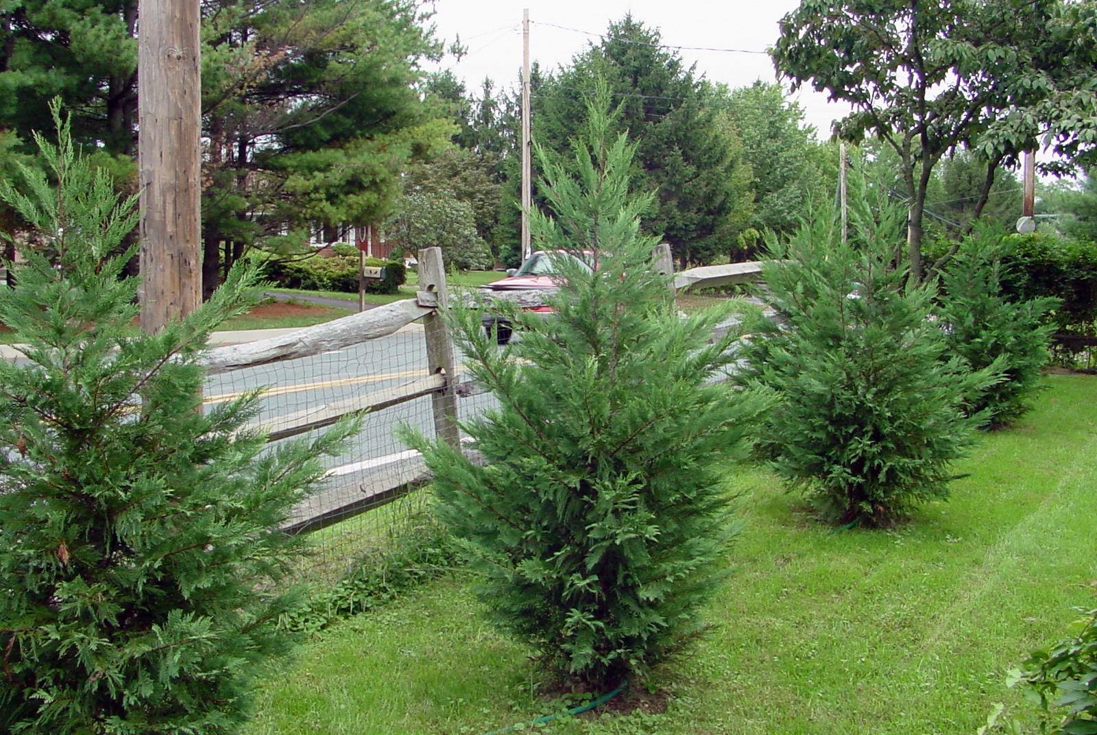how to make a conifer a weeping specimen