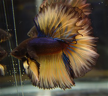 White dragon king crown beta one of the coolest looking for Rare betta fish