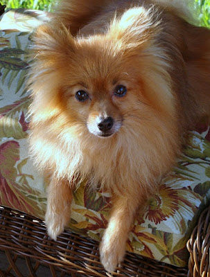 dog, pet, life, death, pomeranian, love, grief, process, loss