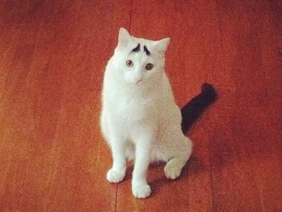foto samhaseyebrows, kucing yang memiliki alis 04