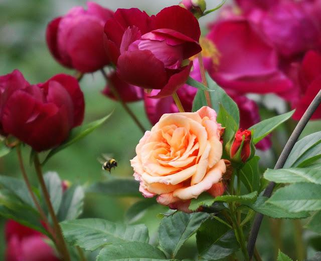 Aloha Rose Photo