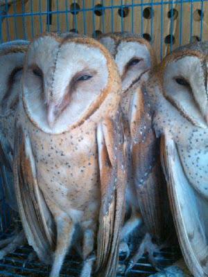celepuk siau, equip celepuk, celepuk kaskus, perilaku celepuk, celepuk jawa, celepuk owl equipment, celepuk kaktus, perbedaan celepuk dan barn owl, celepuk putih, jual equipment celepuk, celepuk kabur, populasi celepuk, celepuk owl, aw falconry celepuk equipment, komunitas celepuk, celepuk reban, celepuk albino, jual equipment celepuk bandung, kebiasaan celepuk, celepuk raja, celepuk merah, celepuk makan emprit, kelebihan celepuk, celepuk rajah, celepuk brancher, celepuk flores, kotoran celepuk, celepuk rinjani, celepuk adalah, celepuk fttf, karakter celepuk, rantai celepuk, celepuk sakit, celepuk ff, karantina celepuk, suara celepuk reban, celepuk gunung, celepuk fof, klasifikasi celepuk siau, morfologi celepuk reban, celepuk siau, falconry celepuk, celepuk leather, cara melatih celepuk reban, celepuk jawa, fakta celepuk, celepuk liar, tips merawat celepuk reban, celepuk putih, burung celepuk flores, celepuk lemas, harga celepuk reban, celepuk owl, jual celepuk facebook, celepuk lucu, celepuk siau, celepuk albino, aw falconry celepuk equipment, layang celepuk, celepuk sakit, celepuk merah, cara melatih celepuk fttf, nama latin celepuk, celepuk sulawesi, celepuk brancher, celepuk gunung, cara menjinakan celepuk liar, celepuk semarang, celepuk sakit, celepuk gta ind, nama lain celepuk, celepuk solo, celepuk gunung, celepuk ga mau makan, cara latih celepuk, celepuk sumatera, celepuk reban, celepuk gak mau makan, layangan celepuk, celepuk sidoarjo, celepuk albino, gambar celepuk siau, celepuk merah, celepuk surabaya, celepuk adalah, harga celepuk gunung, celepuk mini, celepuk stres, celepuk artinya, jual celepuk gunung, celepuk mature, sarang celepuk, celepuk anakan, glove celepuk, celepuk murah, celepuk tidak mau makan, anklet celepuk, burung celepuk gunung, celepuk maluku, celepuk tetelo, arti celepuk, celepuk harga, celepuk malang, celepuk tua, anak celepuk, harga celepuk merah, celepuk mp3, celepuk terbang, aksesoris celepuk, habitat celepuk, celepuk mati, celepuk 