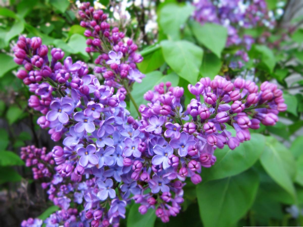 blossoms: Syringa (Lilac )