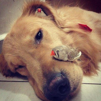 5 Facts About Golden Retriever You Must Know click picture to know