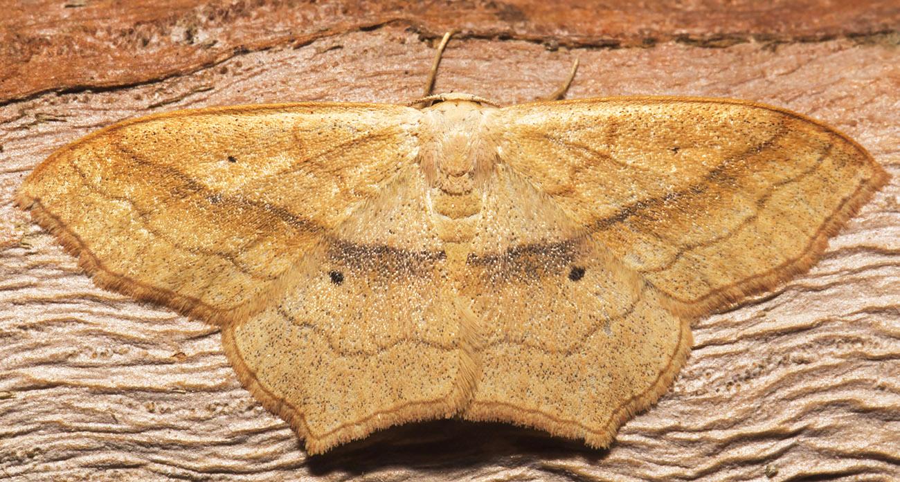 Small Blood-vein, Scopula imitaria.  Geometridae.   Hayes, 19 June 2014.