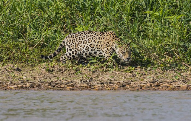 Jaguar attacks Caiman in Brazil